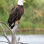 American Bald Eagle in East Lansing Michigan thumbnail
