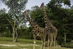 Reticulated Ziraffe@Miami Metro Zoo,Florida,USA (ppaulvadivu) Tags: paulvadivu chennai reticulated ziraffe miami metro zoo florida usa conon5dmark3 f28 usm 70200is