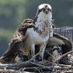 Osprey bird with three chicks on nest -  Jamestown Ferry docks  Virginia thumbnail