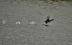 Lift-off..... (flying-leap) Tags: newzealand northcanterbury nz wildlife bird southisland nature kaiapoi australiancoot kaiapoilakes wetlands blip2018 sony sonydscrx10m4 sonydscrx10iv sonyrx10iv birdnative wildlifenz fulicaatraaustralis