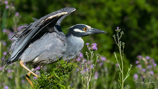 Yellow-crowned Night Heron - Nyctanassa violacea | 2018 - 3