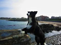 Groomsport Dog (ASHA THE BORDER COLLiE) Tags: groomsport border collie sea ashathestarofcountydown littledoglaughedstories