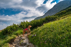 Trail-Dog (F!o) Tags: alpen alps karwendel tirol vizsla hund dog hiking wandern klettern berge mountains hikingdog traildog ruffwear harness