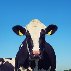 Stare at me (breezysound) Tags: cow kuh countryside farm farmer landwirt landwirtschaft milchkuh