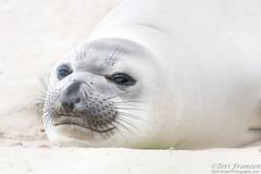 The Workout (tkfranzen) Tags: seal elephantseal anoneuvastatepark california scenesfromca wildlifephotography tnclivenature animalplanet mammal marinemammal