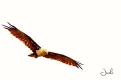 Eagle eye view. (Jansha Crazy) Tags: eagle flyhigh nikon nikonindia