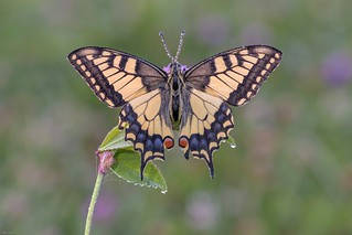 *Summer of swallowtails*