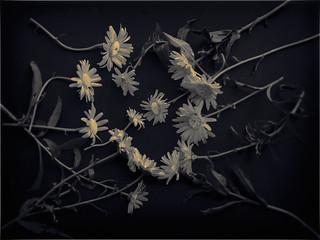 daisies after John Blakemore v.1  ~HSS
