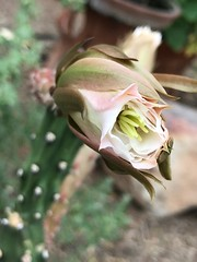 A Night Blooming Cereus Bud Begins to Open At 4 PM 👏🎶👏 (Chic Bee) Tags: southwesternusa americansouthwest arizona tucson sonorandesert alhambra 4pm beginningtoopen flowerbuds nightbloomingcereus blooming starting opening cactus bud bokeh dof