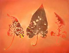Lumen Print 1862 Sweet Potato Vine Leaves by John Fobes: copyrighted all rights reserved. (john_fobes) Tags: lumen lumenart lumenprint lumenprinting llumenprints photogram plant botanical johnfobes copyrightedallrightsreserved kodakstudioproof