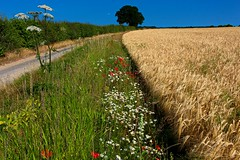 Hanworth (A Picture Of Norfolk) Tags: hanworth metton roughton northnorfolk countryside landscape summer field farm country lane road wheat crop daisies poppies cowparsley cromer