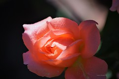 Pink Rose (Anton Shomali - Thank you for over 1 million views) Tags: rose pink love summer plants gardening garden flowers bloom pinkrose shadow sub sun shade wet flower