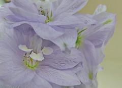 Summer dream (louise peters) Tags: pastel pastelkleuren aquarel watercolours soft dreamy zomer summer dromerig zacht stamen meeldraden blaadjes bloemblaadjes petals bloem flower lila macro