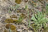 Mead's Sedge and Another Unknown Sedge (corey.raimond) Tags: carex meadii carexmeadii sedge plant flora sparta prairie dryprairie sandprairie meadssedge wisconsin