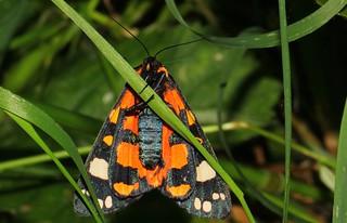 Scarlet Tiger moth -Callimorpha dominula  - Langford Lakes WT reserve Wiltshire (2)