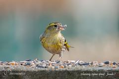 Erlenzeisig (Spinus spinus) - fermale ♀ (sh - photographie) Tags: siskin tierwelt nature bird vögel erlenzeisig spinusspinus wildlife tiere animal
