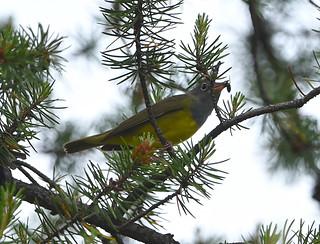 Paruline à gorge grise - Connecticut Warbler