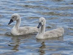Cygnets (Simply Sharon !) Tags: cygnets swans muteswans babyanimals birds britishwildlife wildlife nature thryberghcountrypark july