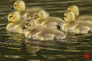 """""""On n'apprend pas l'eau, ni la nage au jeune oison"""""""