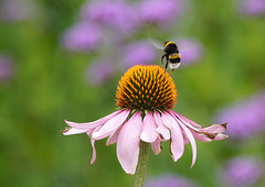 Bye... (SteveJM2009) Tags: bumblebee bee flower echinacea coneflower holt dorset uk july 2018 summer stevemaskell flight dof explored