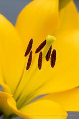 Yellow Lily (I), 5.24.18 (pattyoboe) Tags: lilium flora flowers wgwalk yellow