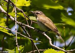 Red-eyed Vireo (Douglas M. Winn) Tags: songbird fortsnelling vireo redeyedvireo vireoolivaceus