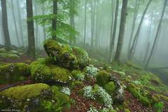 Α Dream Of Spring (Hector Prada) Tags: forest bosque flowers flores spring primavera fog niebla rocks rocas moss musgo tree árbol urbasa navarra