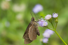 IMG_7209 (vlee1009) Tags: 2018 60d canon july nantou taiwan butterfly insects