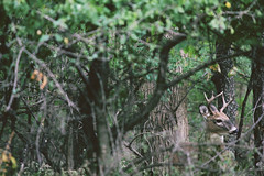 Buck (emptysoundofhate) Tags: channahon illinois summer deer buck antler tree forest leaves bark forestry foliage alone isolated canon nature outdoors woods animal