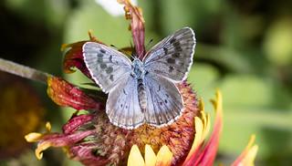 Large Blue (Female)