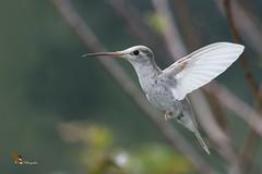 Talamanca Hummingbird Con Leucismo. (fernaabs) Tags: eugenes spectabilis talamanca hummingbird colibrí magnífico rend fernaabs burgalin avesdecostarica gorrión