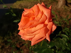 Sunset Rose (petrk747) Tags: nature rose flora outdoor red pink flowers park samsung samsungbaladys9