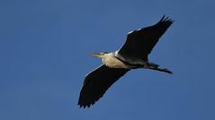 Grey Heron_1897 (marsh and moor) Tags: nikon d850 nature wildlife bird heron oaremarshes