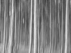 baltic forest (szélléva) Tags: baltic forest trees nature abstract icm bnw monochrome