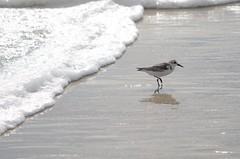 DSC_9490 (padraicsmeehan) Tags: beach sunandsurf sand birds coast longisland atlanticbeach ny newyork unitedstates usa america beachclub pipingplover charadriusmelodus shorebirds coastal southshore wading ocean atlanticocean