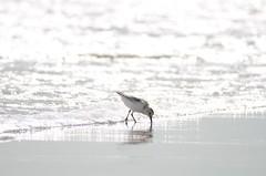 DSC_9301 (padraicsmeehan) Tags: beach sunandsurf sand birds coast longisland atlanticbeach ny newyork unitedstates usa america beachclub pipingplover charadriusmelodus shorebirds coastal southshore wading ocean atlanticocean