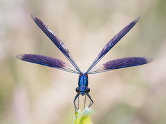 Calopteryx splendens (Prajzner) Tags: macro calopteryxsplendens bokeh berlebach bandeddemoiselle damselfly sigma105mmmacro nikond7100 manfrotto novoflexcastelxqii