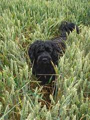 Carlos in the rye. (sabinebeu) Tags: sabinebeu wasserhunde portgiesischerwasserhund été summer sommer weizen rye black blackdogs hunde chiens dog carlos