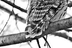 Tale deTail (karma (Karen)) Tags: baltimore maryland home backyard birds barredowl mono bw dof bokeh hmbt