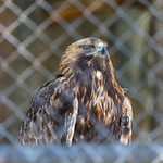 Golden eagle in Moscow zoo thumbnail