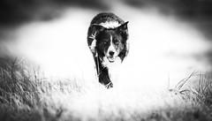 Sheep's Eye View (JJFET) Tags: border collie dog dogs sheepdog
