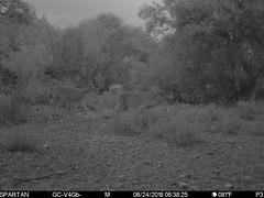 2018-06-24 06:38:25 - Crystal Creek 1 (Crystal Creek Bowhunting) Tags: crystal creek bowhunting trail cam