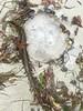 Jelly fish on the shoreline/Carmel Beach (LOLO Italiana) Tags: jellyfish shoreline carmelbeach beach sand carmel ca nature