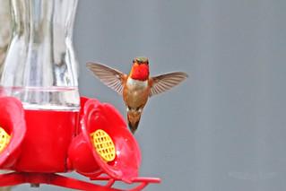 Rufous Hummingbird Flying 18-0602-2269