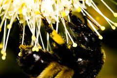 Bumble Bee Macro (_Lionel_08) Tags: bee honey flower nature wildlife macro color
