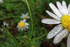 DSC07427rx100IV (jaaselin) Tags: suomi finland finlandsnature nature pirkkala taivas sataa rainyday päiväkakkara vesipisarat raindrops rain green kukkia flowers plants sonyrx100 luontokuvaus sadepäivä