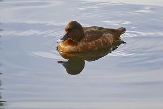 Hardhead Duck (F)