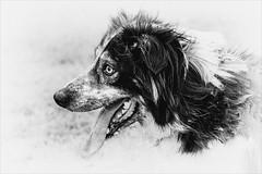 Portrait of a Loyal Friend (felixvancakenberghe) Tags: monochrome blackandwhite animal dog