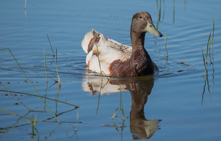 Canard sur le lac du Salagou (Celles - Sud de France).