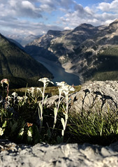 Edelweiss shadows (quanuaua) Tags: ifttt 500px valley mountain peak mountainside livigno's lake livigno alps edelweiss alpine star stella alpina flowers